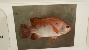 oster red tilapia 4